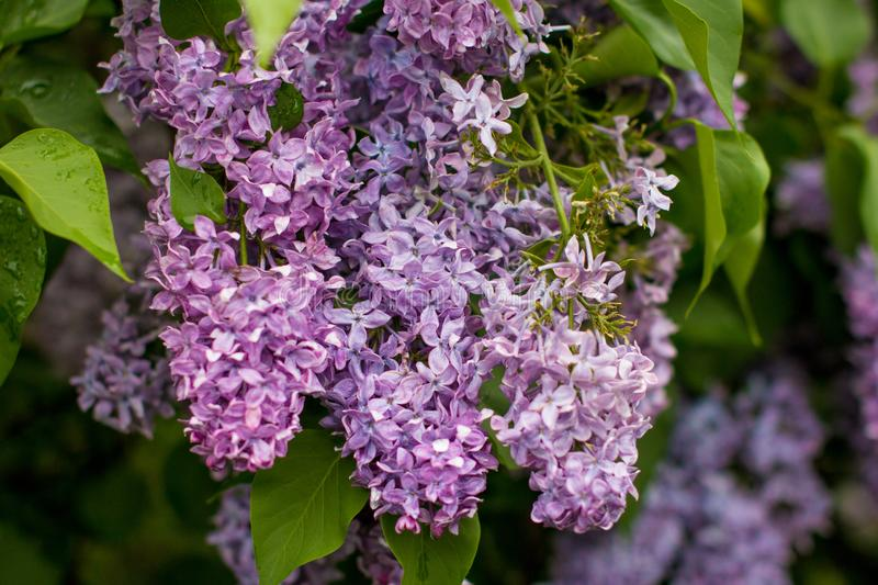 A branch of sirens on a tree in a garden, park. Beautiful flowering flowers of lilac tree at spring. Blossom in Spring. Spring concept royalty free stock photography