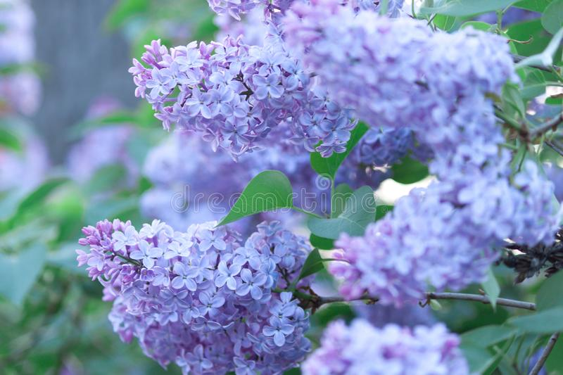 A branch of sirens on a tree in a park. Beautifull flowers of lilac. Blossom background. A branch of sirens on a tree in a park. Beautifull flowers of lilac stock photo