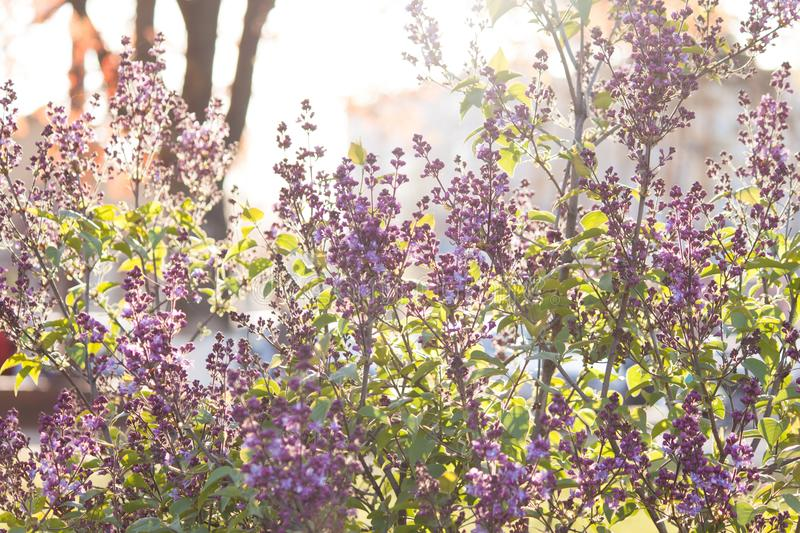 A branch of sirens on a tree in a park. Beautifull flowers of lilac tree at spring. Background. A branch of sirens on a tree in a park. Beautifull flowers of royalty free stock images