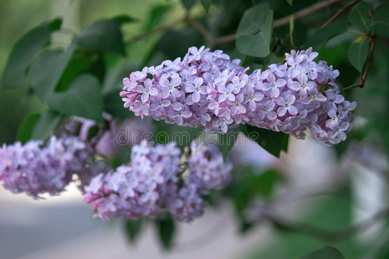 A branch of sirens on a tree in a park. Beautifull flowers of lilac tree at spring. Background. A branch of sirens on a tree in a park. Beautifull flowers of royalty free stock photos
