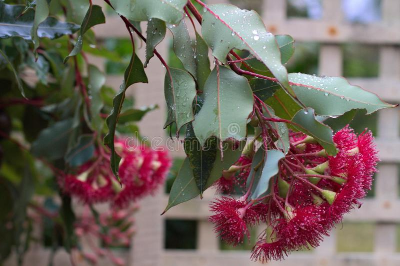 Branch of a small red flowering eucalyptus gum tree after rain. royalty free stock image