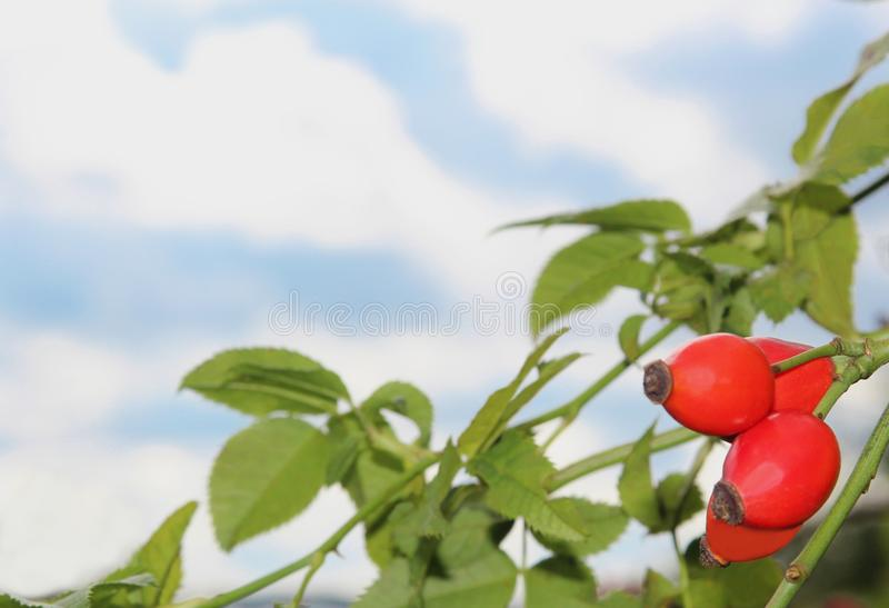 Branch with some rose hip fruits in front of blue and white sky royalty free stock photos