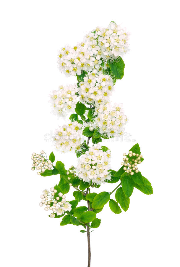 The branch of spiraea. On a white background royalty free stock photo