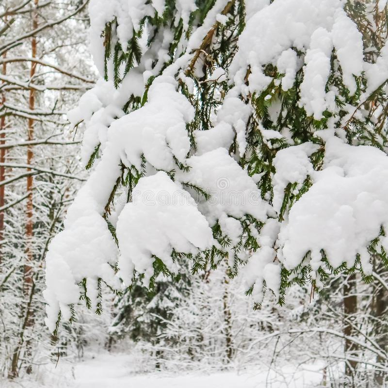 A branch of spruce covered with fluffy snow in a snowy forest. Winter background stock images