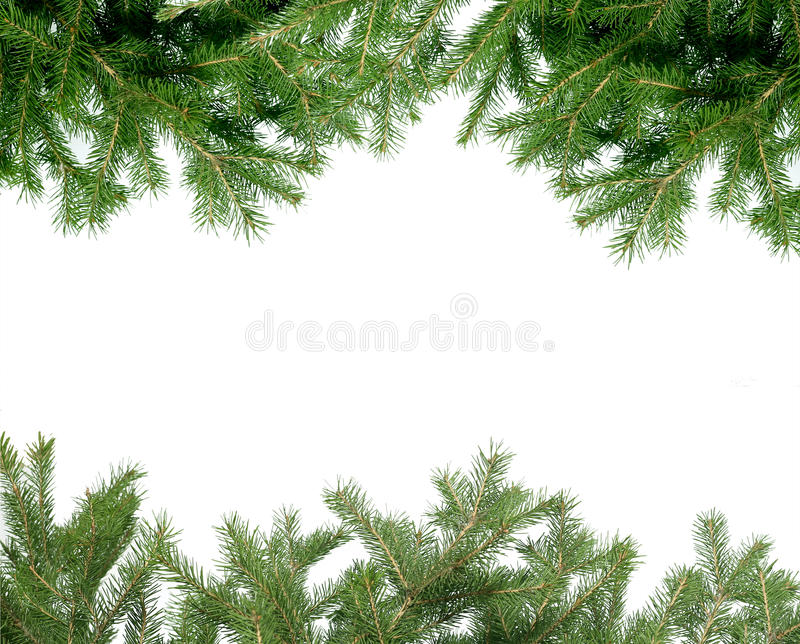 Branch spruce Isolated stock image