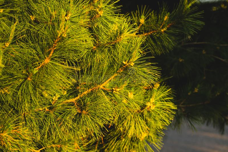Branch of spruce. pine tree background. evergreen forest royalty free stock photos