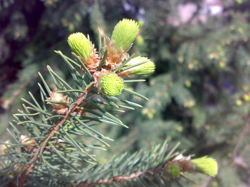 Branch spruce spring. Flowering spruce. Smereka royalty free stock photos