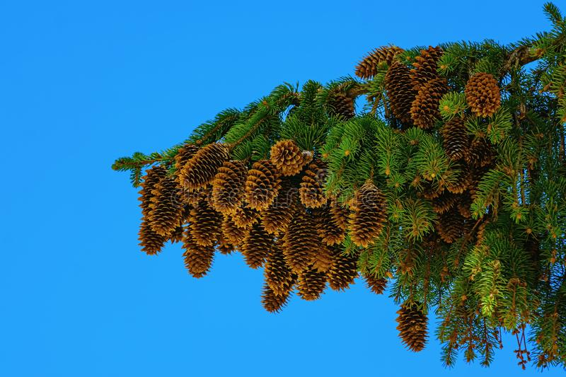 Branch of spruce with strobiles stock photos