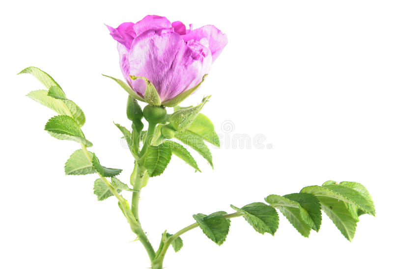 Branch of sweetbriar rose & x28;Rosa rubiginosa& x29; with pink flower and green leaves isolated on white background royalty free stock image