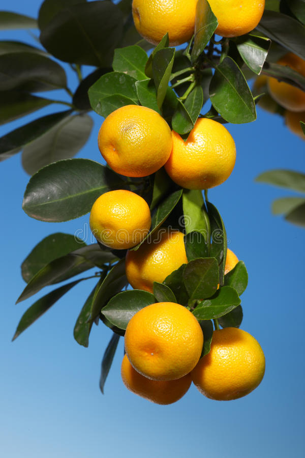 A Branch With Tangerines On A Tree Royalty Free Stock Images