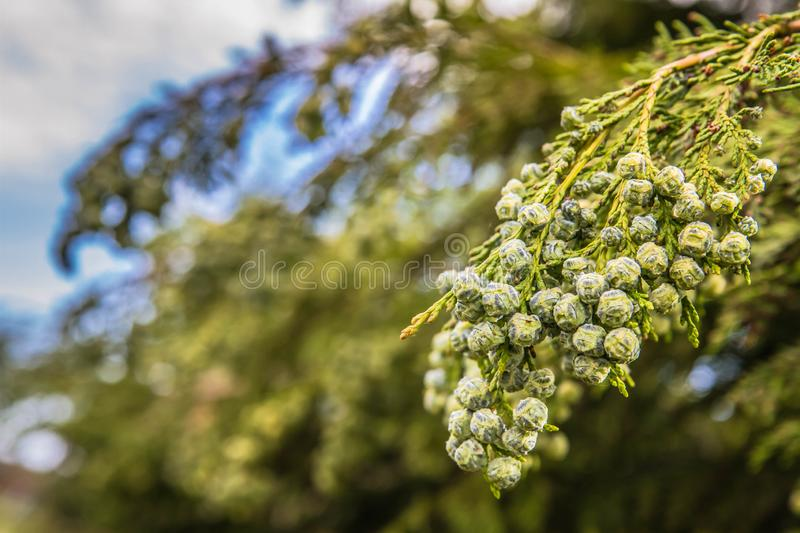 The Thuja. Branch of The Thuja in close up stock images