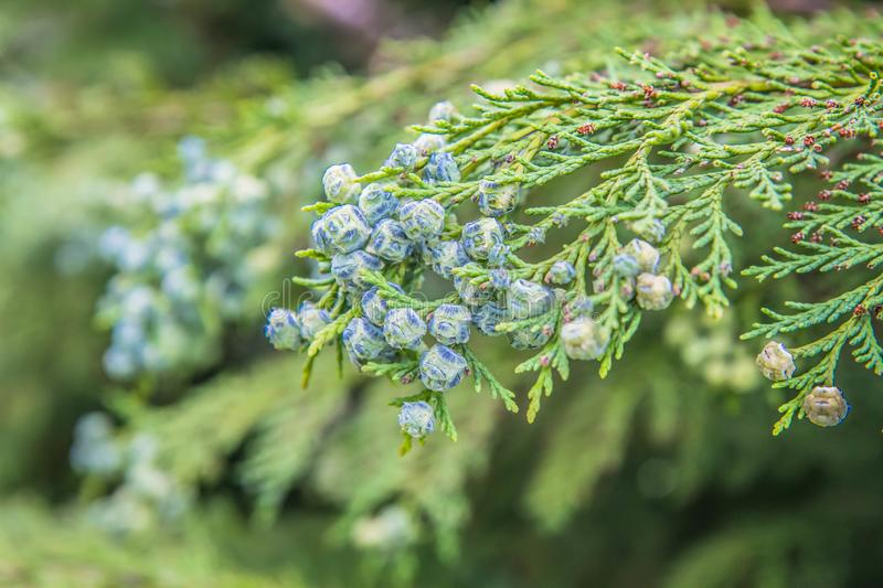 The Thuja. Branch of The Thuja in close up royalty free stock photos