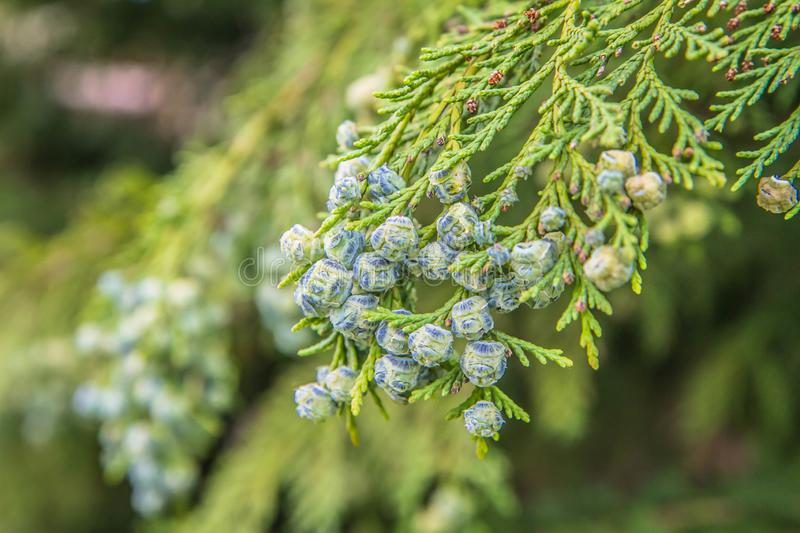 The Thuja. Branch of The Thuja in close up royalty free stock photo