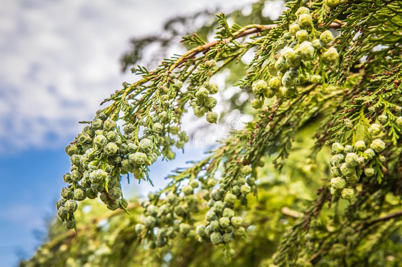 The Thuja. Branch of The Thuja in close up stock image