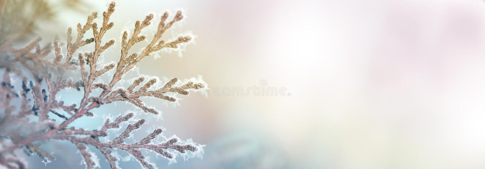 Branch thuja cypress tree in snow. Winter snow sunshine background stock photography