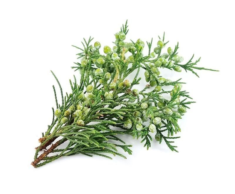 Branch of thuja isolated royalty free stock photography