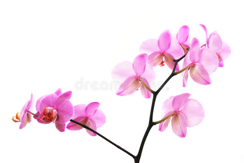 Branch of tiger's violet orchids isolated stock photos