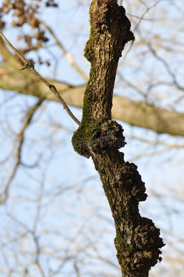Tree branch with Black Knot Fungus. Branch of the tree affected by the disease stock photos