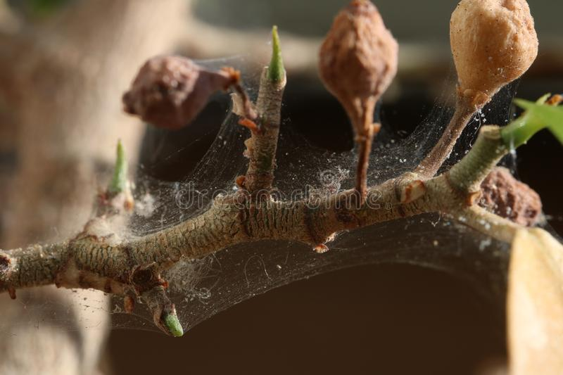 Branch of a tree affected by Spider mite, Tetranychus urticae. Branch of a ficus tree affected by Spider mite Tetranychus urticae stock image