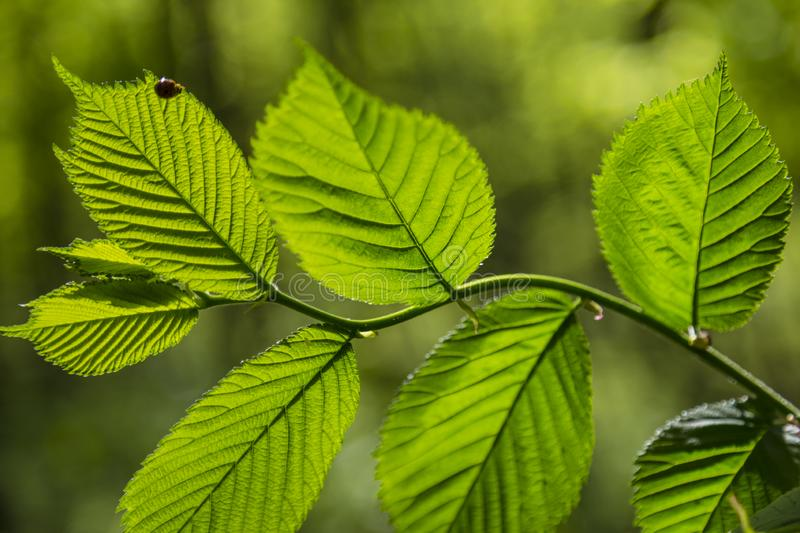 Branch  of tree  Alder  with green fresh leaves close up stock photos