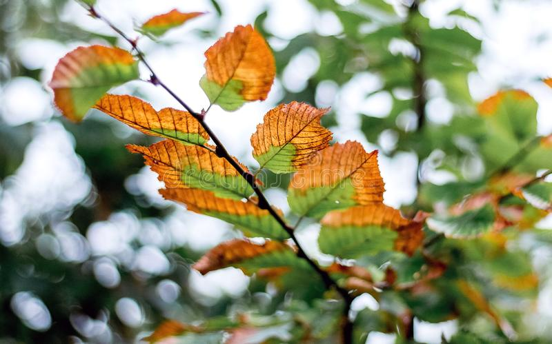 A branch of a tree with autumn leaves that begins to fade_. A branch of a tree with autumn leaves that begins to fade stock photography