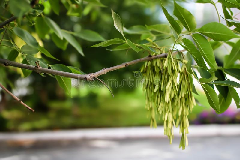 Branch of a tree close-up with juicy green leaves stock images