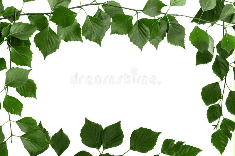 Branch of tree with green leaves. White background, copy space for text stock photo