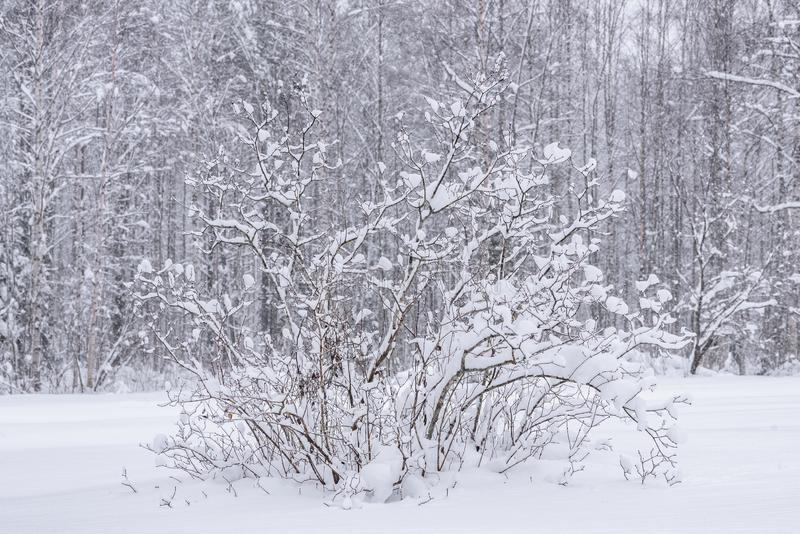 The branch of tree has covered with heavy snow and bad weather in winter season at Holiday Village Kuukiuru, Finland. Background beautiful blizzard blue stock images