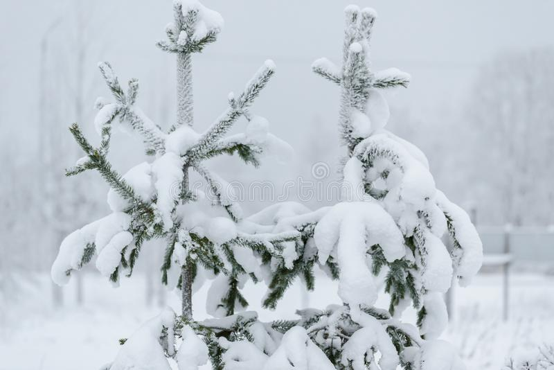 The branch of tree has covered with heavy snow in winter season at Lapland, Finland. Background beautiful beauty big blizzard blue christmas clear close cold stock images