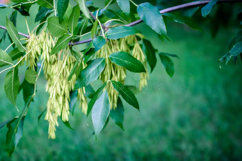 Branch of a tree with leaves and earrings royalty free stock images