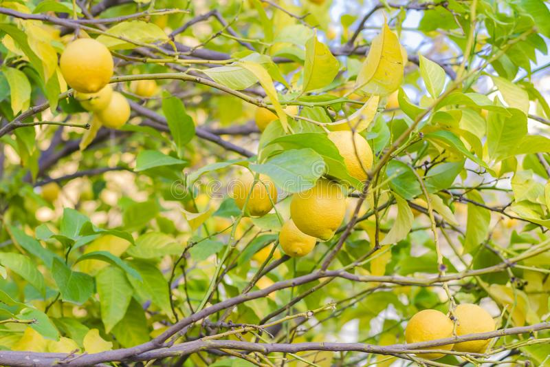 A branch of a tree with ripe lemons and green leaves in the garden. Blurred Background stock photos