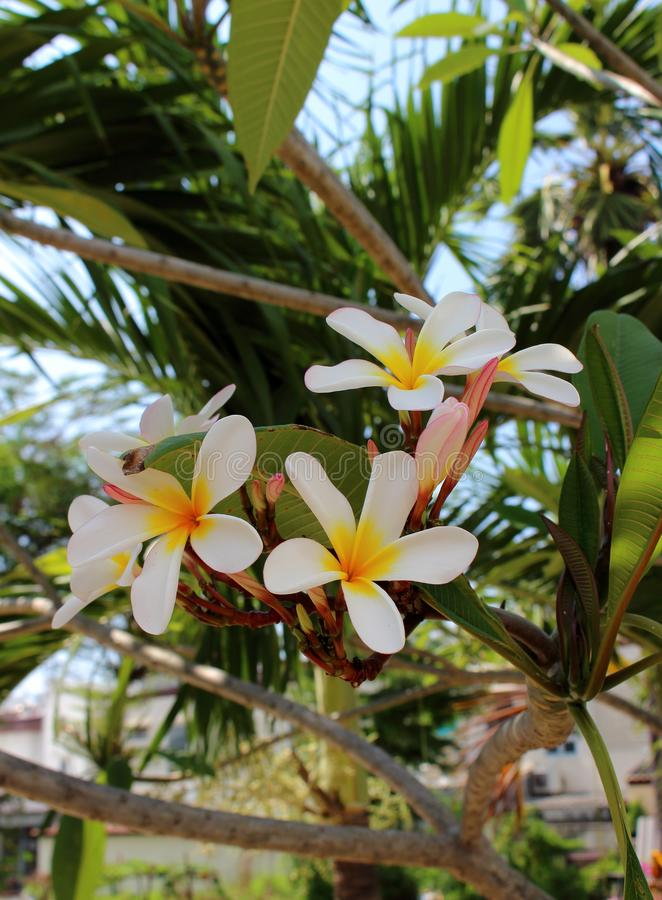 Branch of tropical flowers plumeria royalty free stock photo