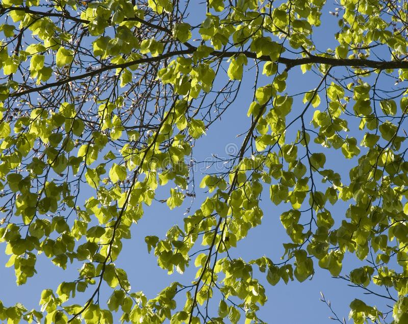 Fresh green leaves of a beech tree in spring stock photography