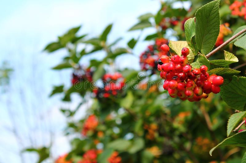 Branch of Viburnum with red berries royalty free stock image