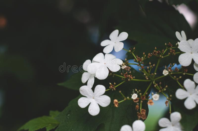 Branch of viburnum tree with green leaves and blooming delicate white flowers close-up royalty free stock photo