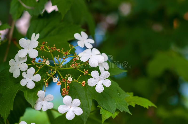 Branch of viburnum tree with green leaves and blooming delicate white flowers close-up stock photo