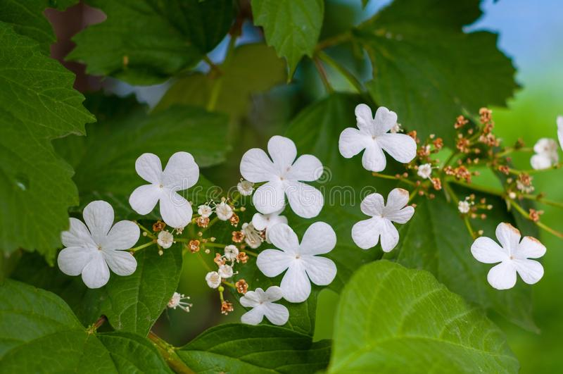 Branch of viburnum tree with green leaves and blooming delicate white flowers close-up stock photos