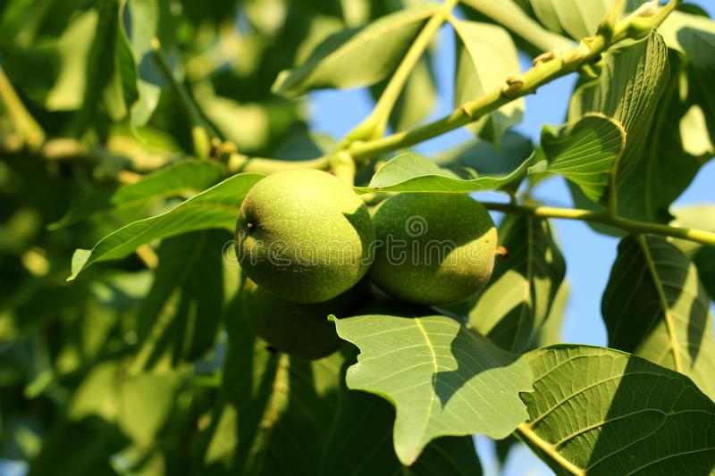 Branch with Walnut. Green fruit on a tree. stock images