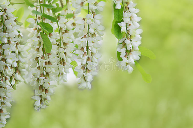 Branch of white acacia flowers on green stock photos