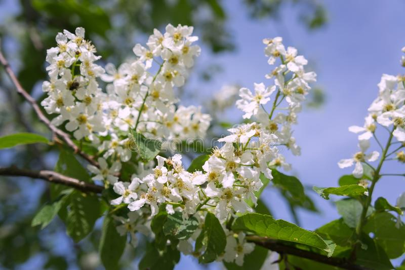 Branch of a white bird cherry tree Prunus padus blooms against the sky in spring royalty free stock photo
