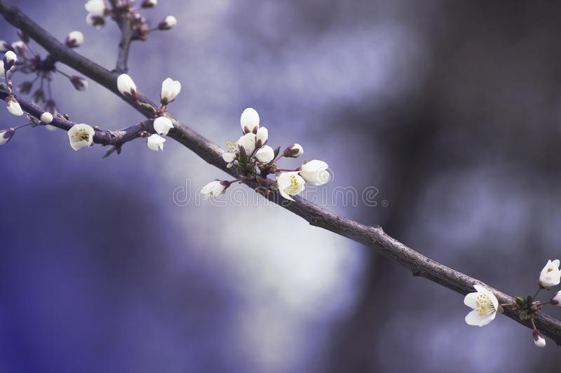 Branch with white cherry flowers on a blue spring background stock photography
