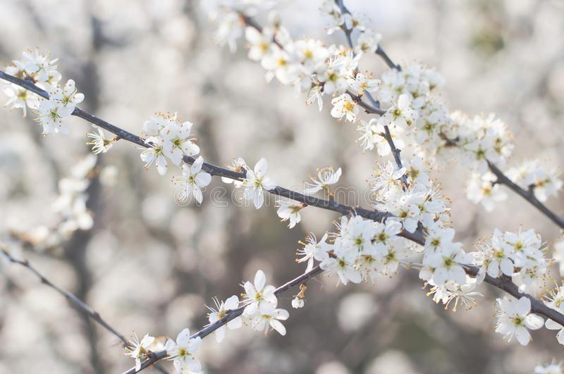 Branch with white flowers on a tree stock images