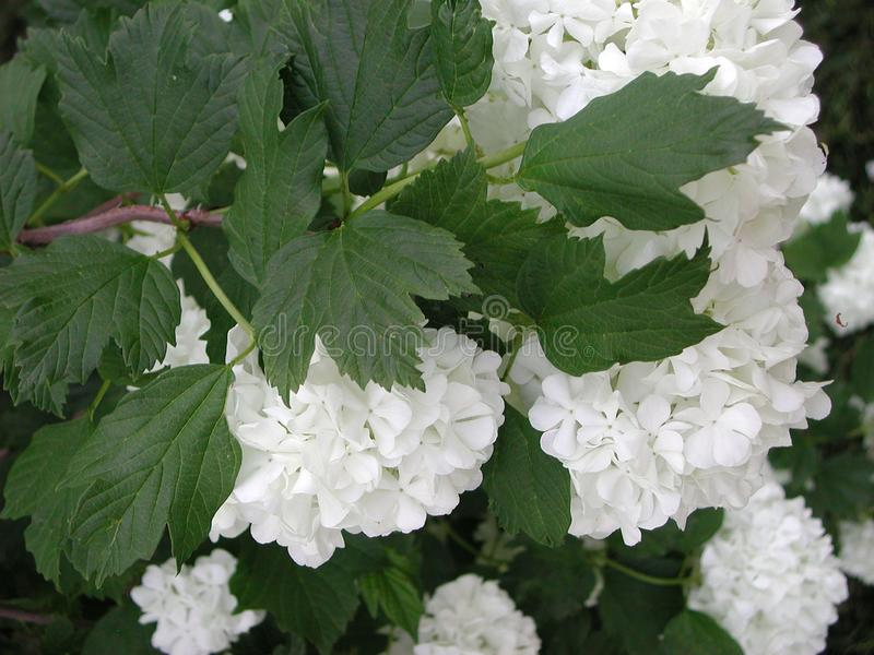 Viburnum opulus white flowers stock images