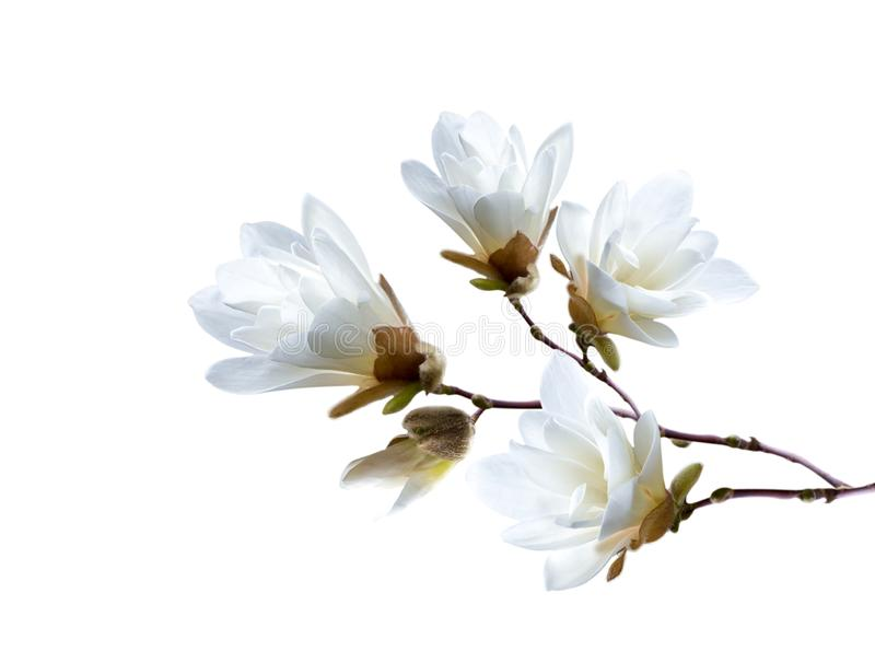 Branch of white Japanese magnolia kobus isolated on white background royalty free stock photos