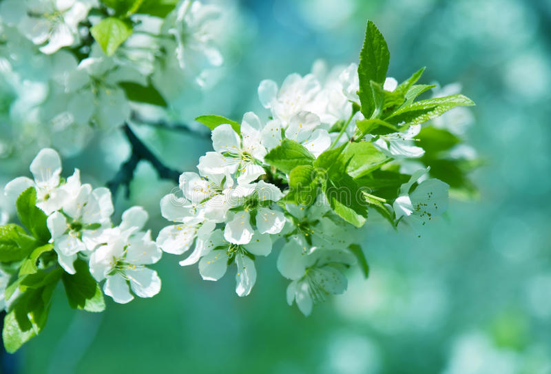 Branch of white spring blossom.  royalty free stock photography