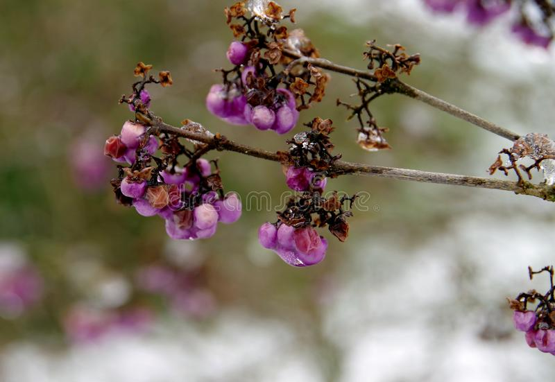 Branch with withered and dried flowers in winter with blurred background. Branch with purple flowers remnants, garden in winter, plants in february, Plant stem royalty free stock image