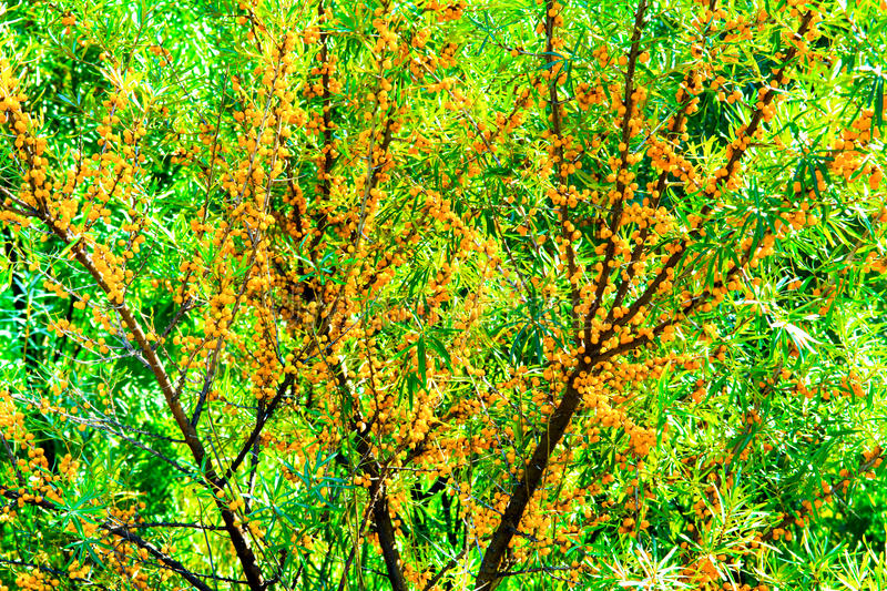 Sea buckthorn. Branch with yellow berries of sea buckthorn and green leaves royalty free stock image