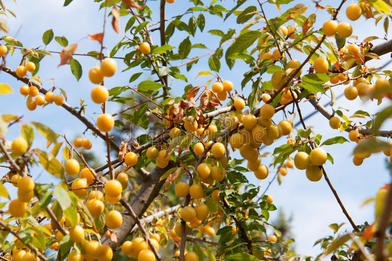 Branch with yellow cherry plum against the sky royalty free stock photo