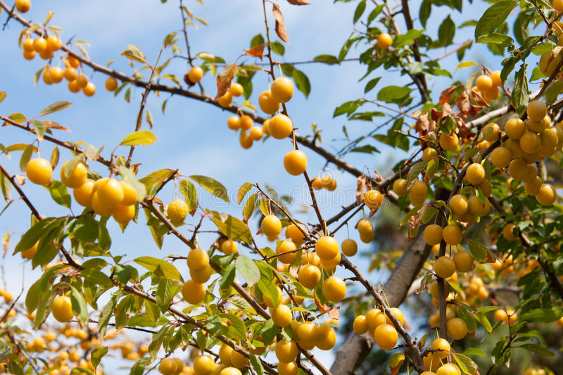 Branch with yellow cherry plum against the sky royalty free stock images