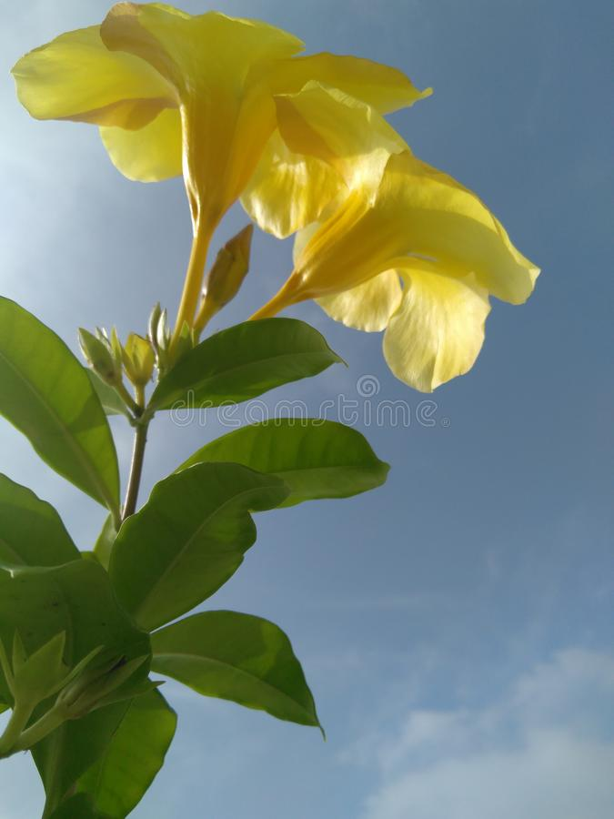 Branch of yellow flower and green leaves of plant in white clouds blue sky background, gratitude, Thanksgiving photography. M, ma, , isolated stock photography